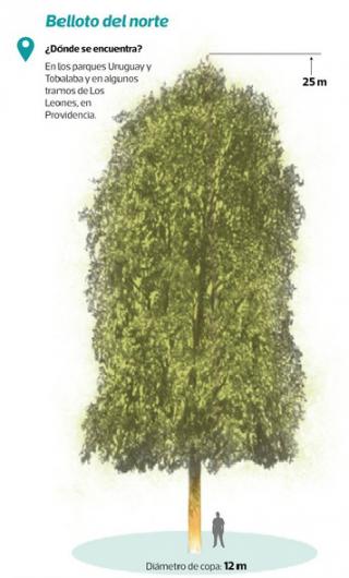 quillayes y bellotos son los mejores rboles para plantar