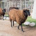 Algunas ovejas del mini zoológico paseando por el Parque Pedro de Valdivia.