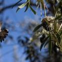 Nido de picaflor en un campo de olivos