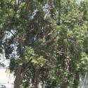 La Serena poda de árboles