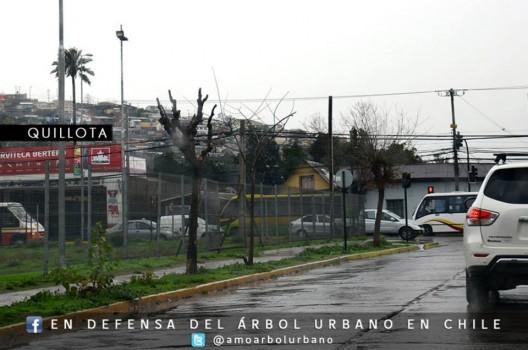En Defensa del Arbol Urbano en Chile 2 Quillota