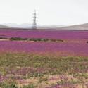 Desierto florido Region de Atacama